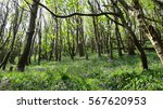 Bluebells In Ancient Woodlands...