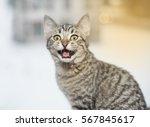 Bengal Tiger Kitten  Portrait...