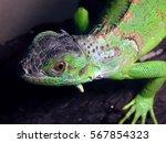 tropical lizard iguana on a...   Shutterstock . vector #567854323