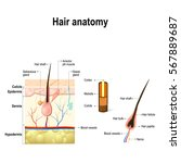 human hair anatomy. diagram of... | Shutterstock . vector #567889687