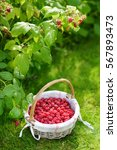 Small photo of Fresh ripe raspberries in the cute basket under raspberry bush