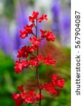Small photo of Coral bells or alumroot or heuchera is a herbaceous perennial plants common in northern gardens.