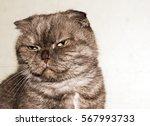head fold. portrait of a cat... | Shutterstock . vector #567993733