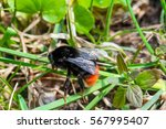 Black And Orange Bumblebee In...