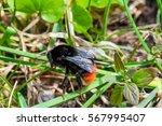 Black And Orange Bumblebee In...