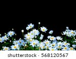 white daisy flowers at chiang... | Shutterstock . vector #568120567