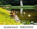 bird duck  mallard. wild nature.... | Shutterstock . vector #568233403