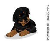 cute rottweiler dog at the... | Shutterstock .eps vector #568307443