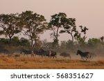 African Safari Zebra Runnin  I...