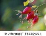 Rosehip On Bush