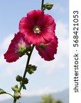 Small photo of Malva (Alcea rosea hollyhock) flower