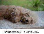 Stock photo poodle dog sleepy smiling 568462267