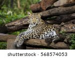 leopard in zoo at thailand | Shutterstock . vector #568574053