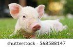 pig cute newborn standing on a... | Shutterstock . vector #568588147