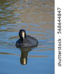 Small photo of American Coot swimming on lake