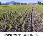 rice sprout in field  thailand. | Shutterstock . vector #568887277
