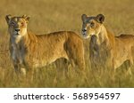 Lionesses In The Masai Mara...