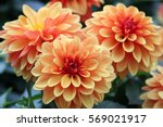 dahlia flower are colorful and... | Shutterstock . vector #569021917