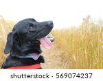 Dog In Wheat Field Looking Bac...