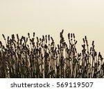 lavender   Shutterstock . vector #569119507