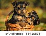 Yorkshire Terrier Puppy 7 Week...