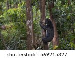 Sun Bear In The Jungle  Malaysia