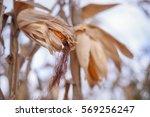 dry corn in husk on the farm. | Shutterstock . vector #569256247