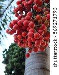 Small photo of foxtail palm fruit Wodyetia bifurcate, Ripe areca nut palm on tree.