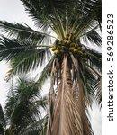 coconut tree | Shutterstock . vector #569286523