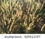 Wild Grass Arundo Donax