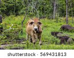 asian ox in the wild forest | Shutterstock . vector #569431813