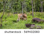 asian ox in the wild forest | Shutterstock . vector #569432083