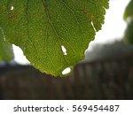 A Drop Runs Down The Leaves ...