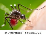 Small photo of Super macro Dangerous Zica virus aedes aegypti mosquito on human skin , Dengue, Chikungunya, Mayaro fever