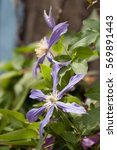 The Flowers Of Clematis Twine...