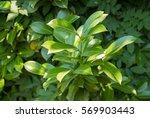 green bushes laurel tree catch... | Shutterstock . vector #569903443
