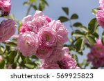red rose on the blue sky... | Shutterstock . vector #569925823