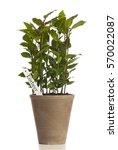 laurel plant in flower pot with ...   Shutterstock . vector #570022087