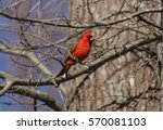 Northern Cardinal Perched In...