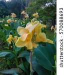 Small photo of tropical flower canna indica in a garden (family: cannaceae, class: liliopsida)