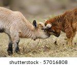 Pygmy Goat Puppy