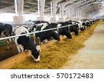 Stock photo cows in a farm dairy cows cowshed 570172483
