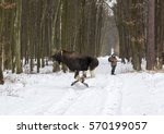 Moose Are Running Away While...