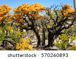 christmas trees in bloom  cape... | Shutterstock . vector #570260893