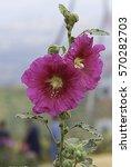 Small photo of Closeup Pink Hollyhock(Alcea Rosea)