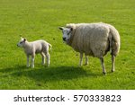 mother sheeps and lambs at a...