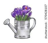 hand drawn crocuses in the... | Shutterstock . vector #570428107