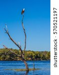 Small photo of African fish eagle on a dry tree in Zambezi River. The concept of extreme and exotic tourism. Chobe National Park , Botswana