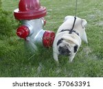Adult Pug peeing on a red and silver fire hydrant. - stock photo