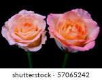 Two Pink Roses With Peach Core...